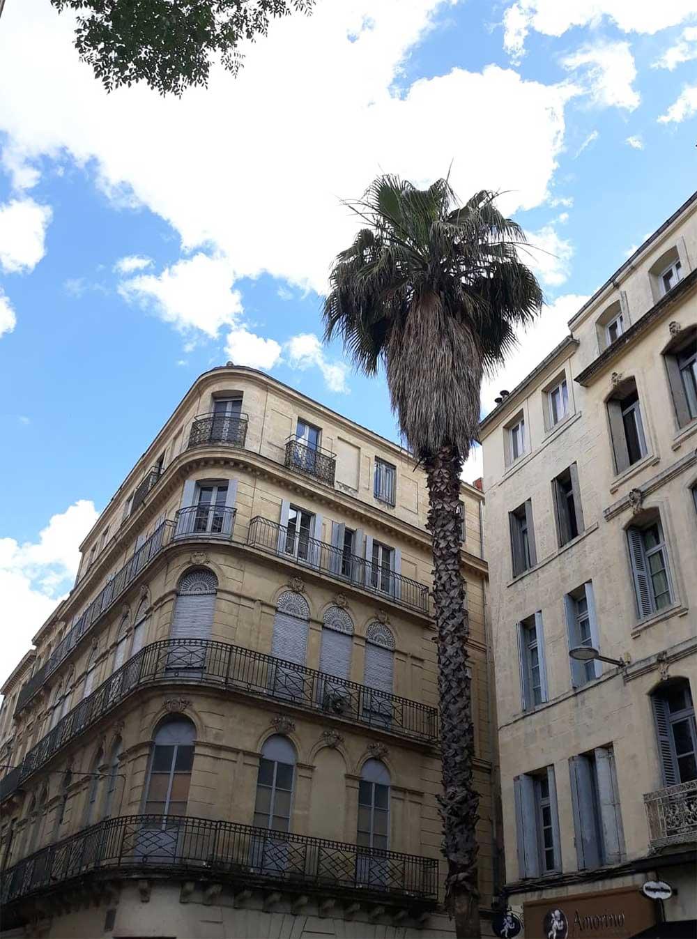 Palmier-Montpellier- rue de la Loge